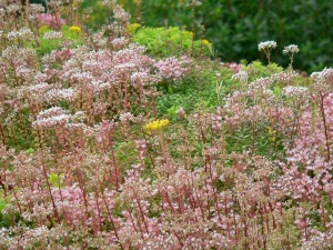 Sedum green roof with flowering wild plants