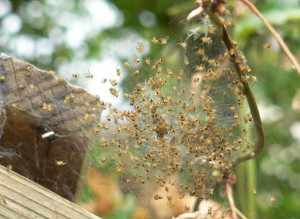 Baby spiders group